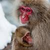 Mother snow monkey holding juvenile