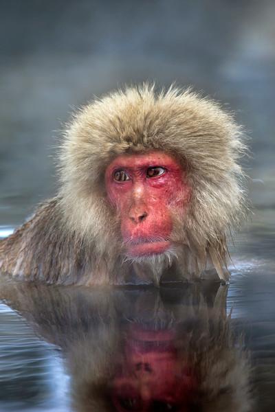 Adult Snow Monkey enjoying a hot spring