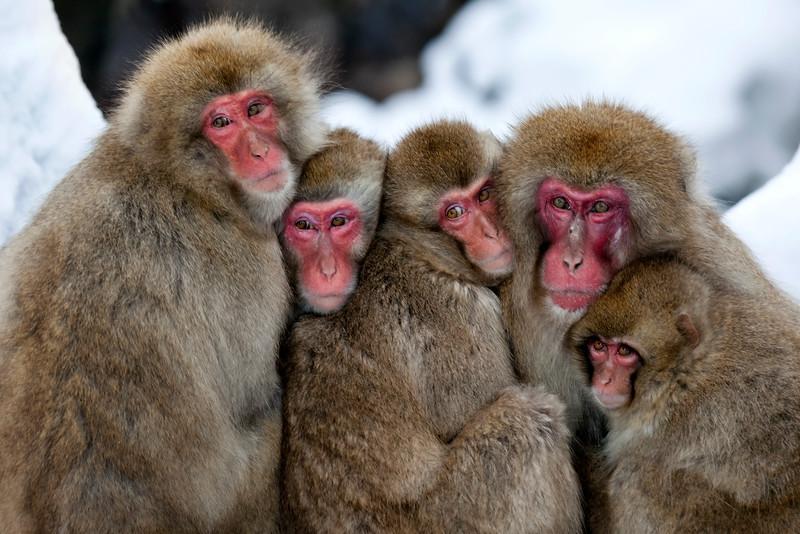 Snow Monkey Family Huddled Together