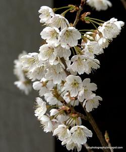 Sakura blossoms in Kyoto, Japan in March 2015