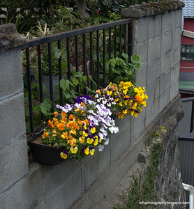 Petunias in hanging baskets in Nagasaki, Japan in March 2015