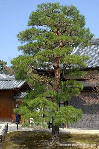Beuatiful tree in a temple in Kyoto, Japan in March 2015