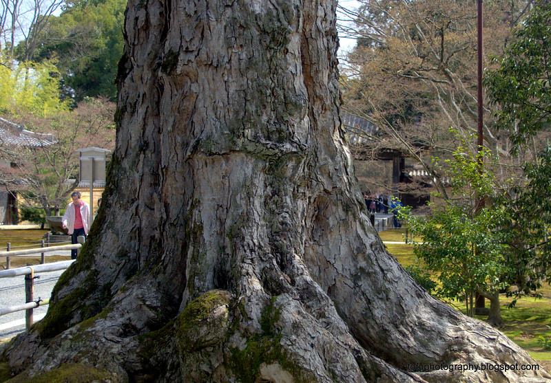 Beautiful tree trunk in Kyoto, Japan in March 2015
