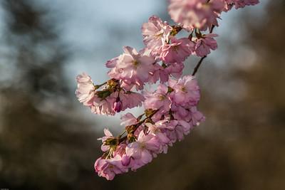 Japanese Cherry - Japansk Kirsebærtræ