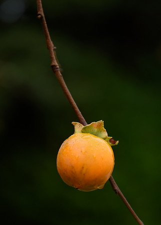 Seattle Japanese Garden - Persimmon