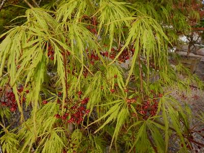 Japanese Maple Blooming Foliage