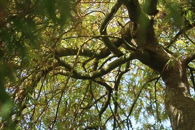 Acer Specimen Under Canopy