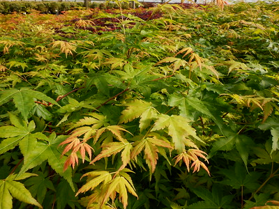 Japanese Maple Foliage 3