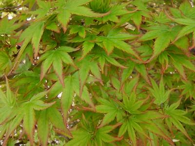 Japanese Maple Variegated Foliage 3