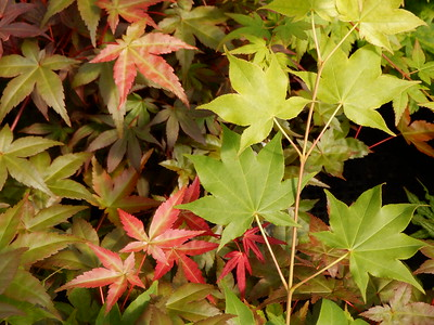 Japanese Maple Foliage Red and Green