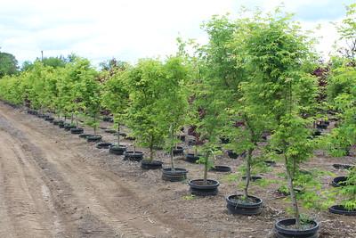 Acer palmatum 'Hogyoku' 6-7 ft, #15