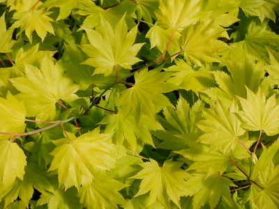 Acer palmatum Gold Foliage need ID