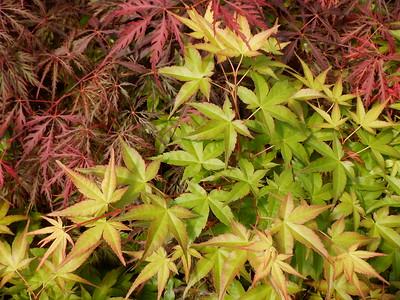 Japanese Maple Laceleaf and Palmatum Foliage