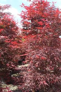 Acer palmatum 'Beni Otake' 1 5'' #20 Foliage