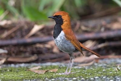 Okinawa Robin