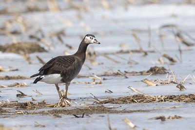 Hybrid Geese