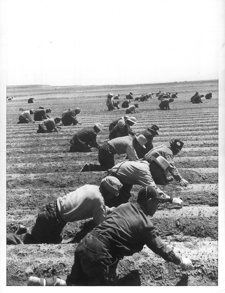 """""""Older Japanese men are shown busy weeding the onions in the large truck farm maintained at the center""""--caption on photograph"""