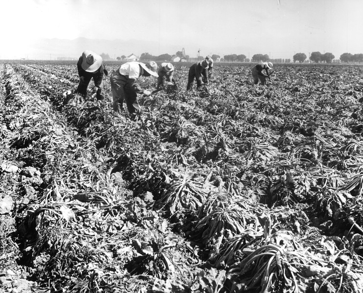 """No more sights before long like these of Japanese harvesting sugar beets in Santa Maria's beautiful valley.""--caption on photograph"
