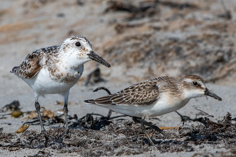 Sanderling with Semipalmated Sandpiper