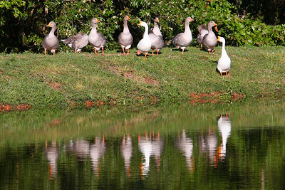 I found these geese on a pond just East of Bennett Springs as I was leaving town.