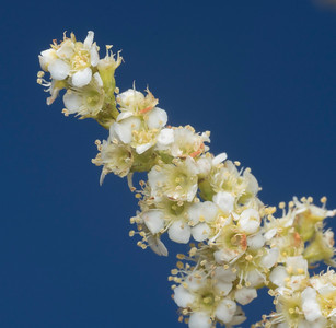 Chemise blossoms against the sky