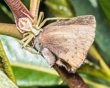Crab spider (probably Diaea livens) with a lepidopteran meal.