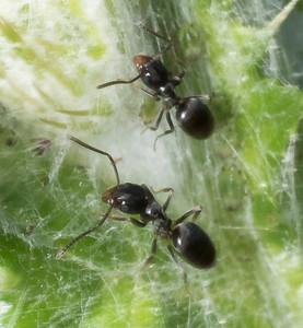 Tapinoma (I think) tending aphids