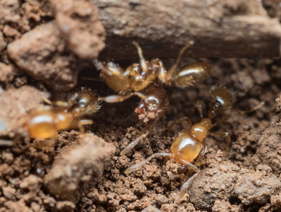 Solenopsis  molesta at the mouth of their nest