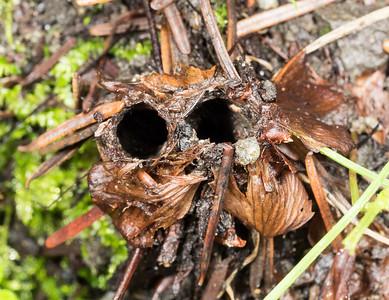 Double-barreled turret-spider burrow