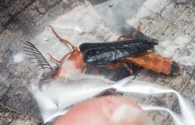 The male Zarhipis integripennis immobilized inside a ziplock bag