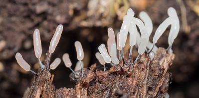 Fruiting slime mold
