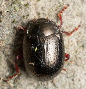 Interesting beetle; Paul Heiple suggests the leaf beetle (chrysomelid) Chrysolina bankii, which looks very plausible.