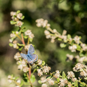 A blue of genus Plebejus, possibly a male Acmon Blue, on coyote brush