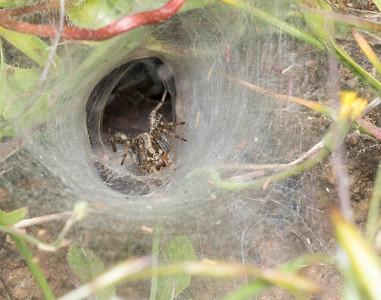 Funnel-web weaver (AKA grass spider) family Agelenidae, genus Agelenopsis