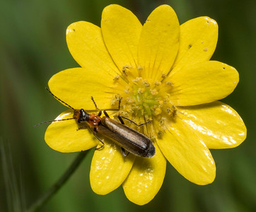 Either a soldier beetle (cantharid) or else a longhorn beetle (cerambycid) like Lampropterus