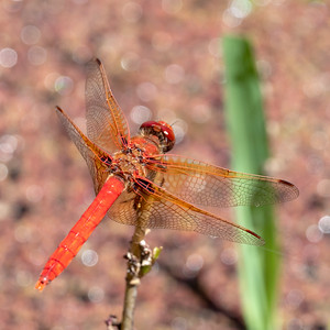 Cardinal Meadowhawk, Sympetrum illotum, male
