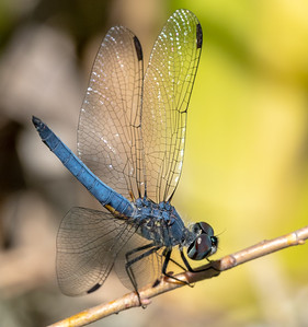 Blue Dasher, Pachydiplax longipennis, male