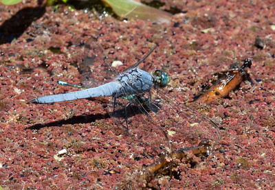 Western Pondhawk, Erythemis collocata, male with damselfly prey