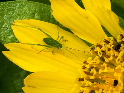 Orthopteran nymph (Katydid?  Tree Cricket?) on Mule Ears (Wyethia sp.).  21 April 2014