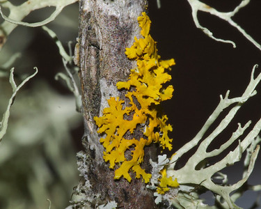 The lichen Xanthoria sp. (yellow).  See next photo for UV-excited fluorescence. 8 Mar 2012.