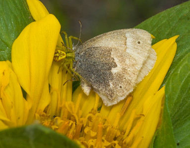 Common Ringlet (Coenonympha tullia) captured by Goldenrod Crab Spider (Misumena vatia) on Mule Ears (Wyethia sp.).  21 April 2014