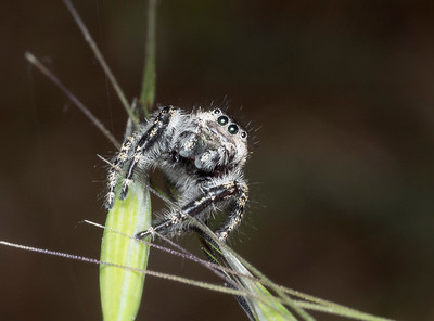 Jumping Spider (probably Phidippus johnsoni) on Wild Oats