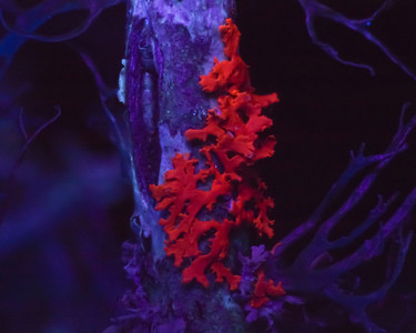 Xanthoria fluorescence.   Illumination:  a 375 nm LED flashlight with a Schott UG1 filter in front of it to reduce the background from the spillover of the LED into the visible (violet).  The filter passes UV but cuts off pretty abruptly at 400 nm.
