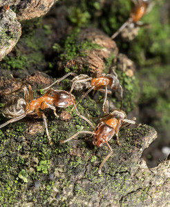 California Velvety tree Ant, Liometopum occidentale