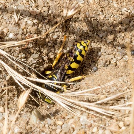 Sand Wasps (Bembicids), 2016