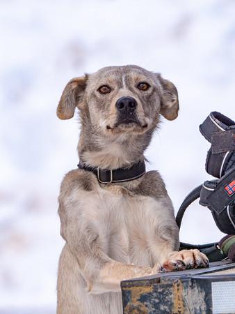 Sled dog portrait