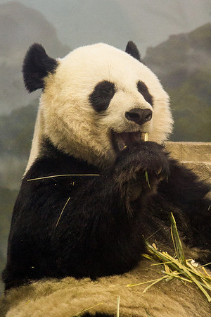 Female panda portrait
