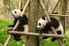 Panda cub playtime