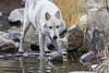 Thirsty wolf