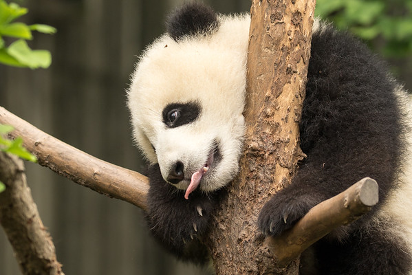 Young panda in tree